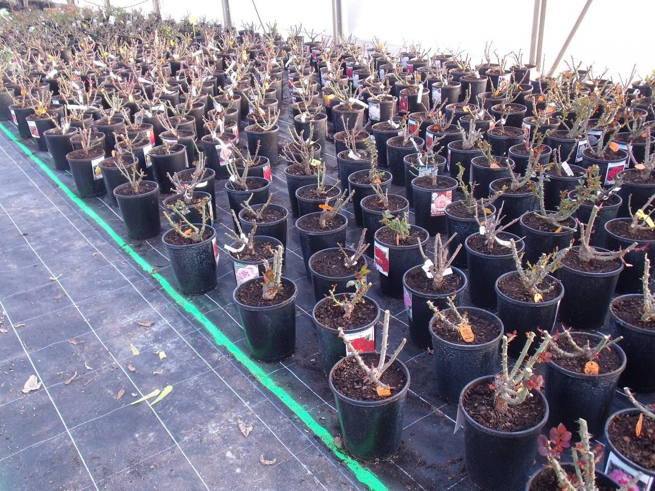 Jeunes plants de rosiers