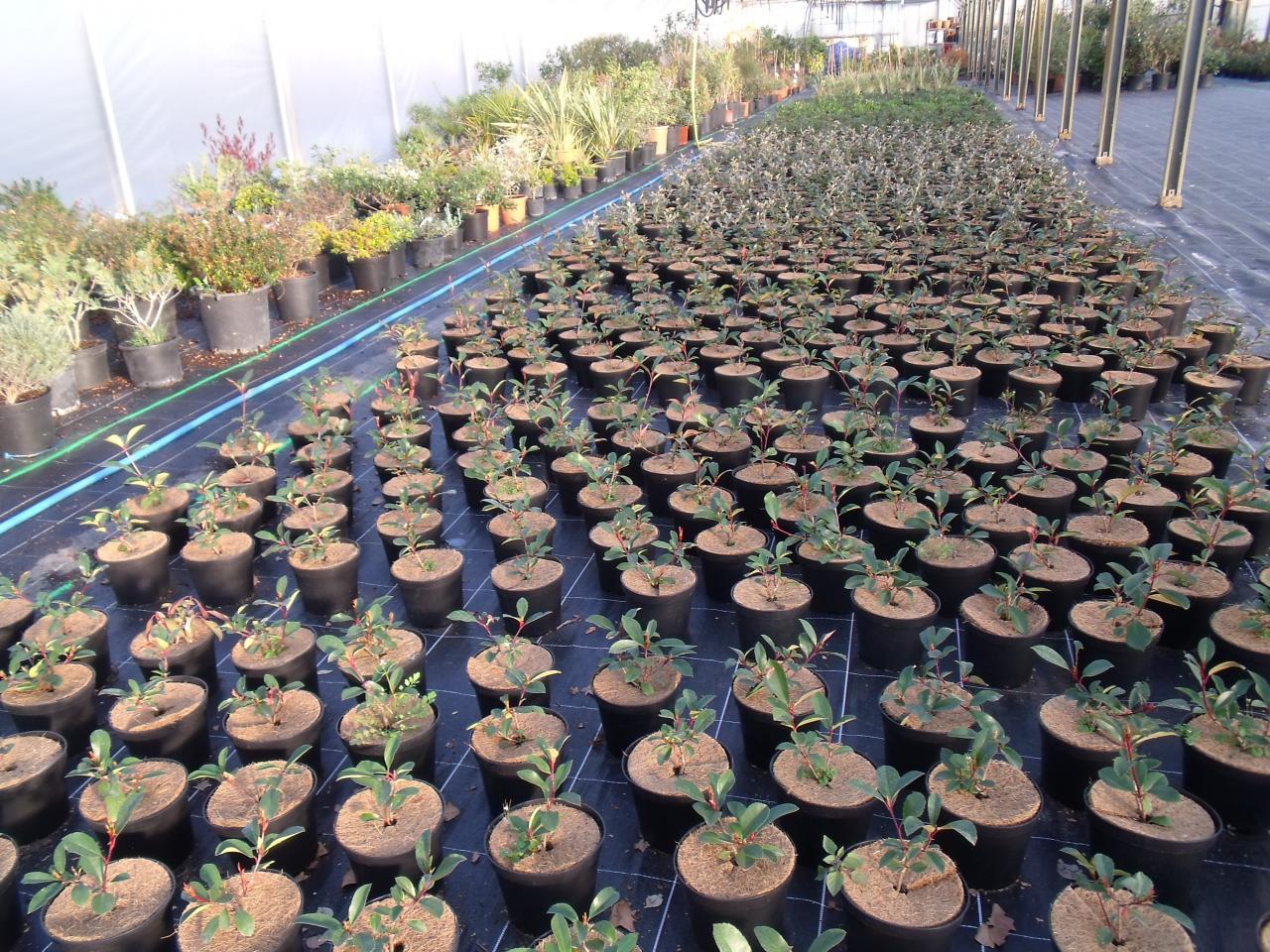 Jeunes plants d'arbustes (photinia et eleagnus)