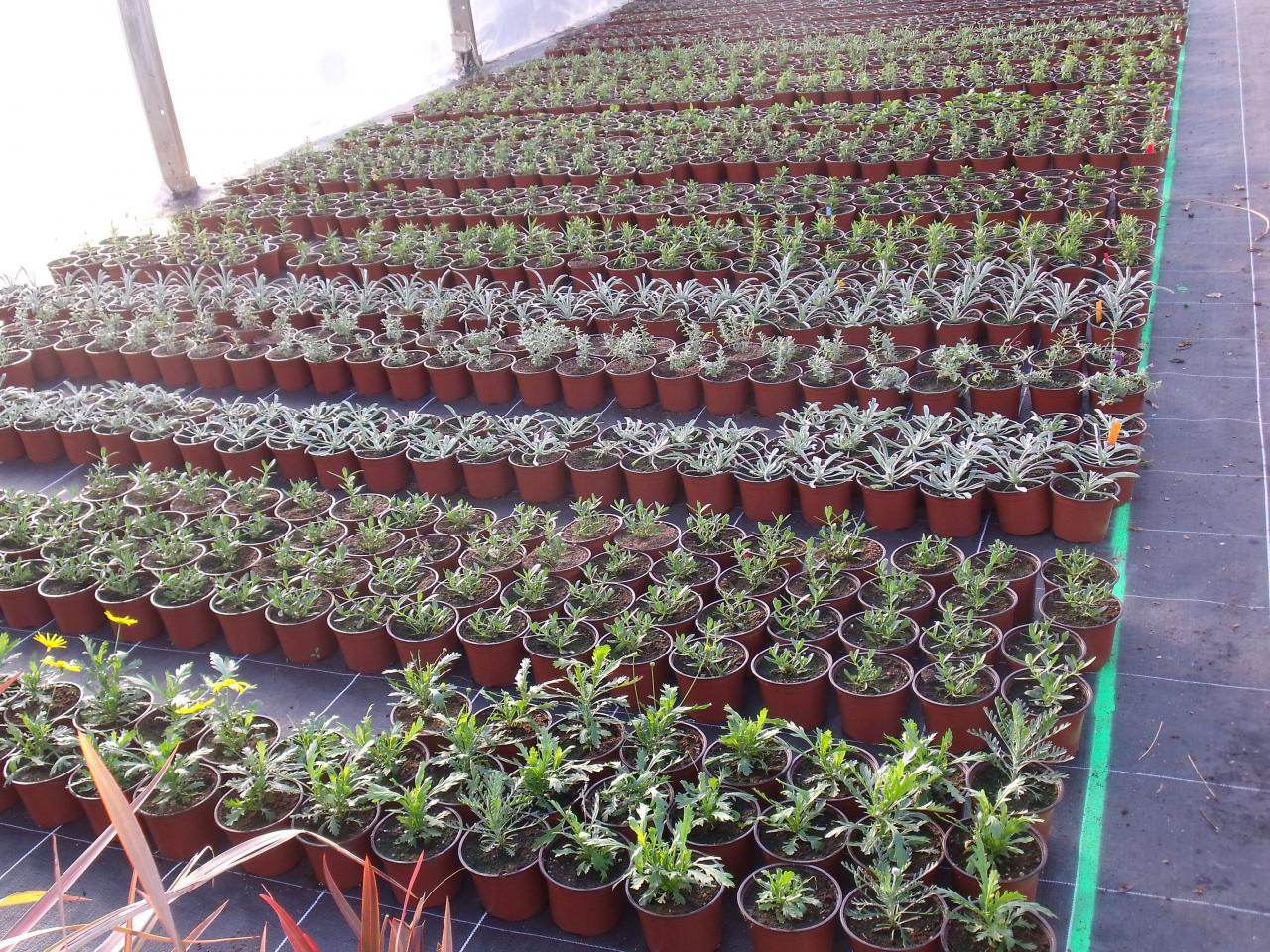 Jeunes plants de vivaces méditérranéennes
