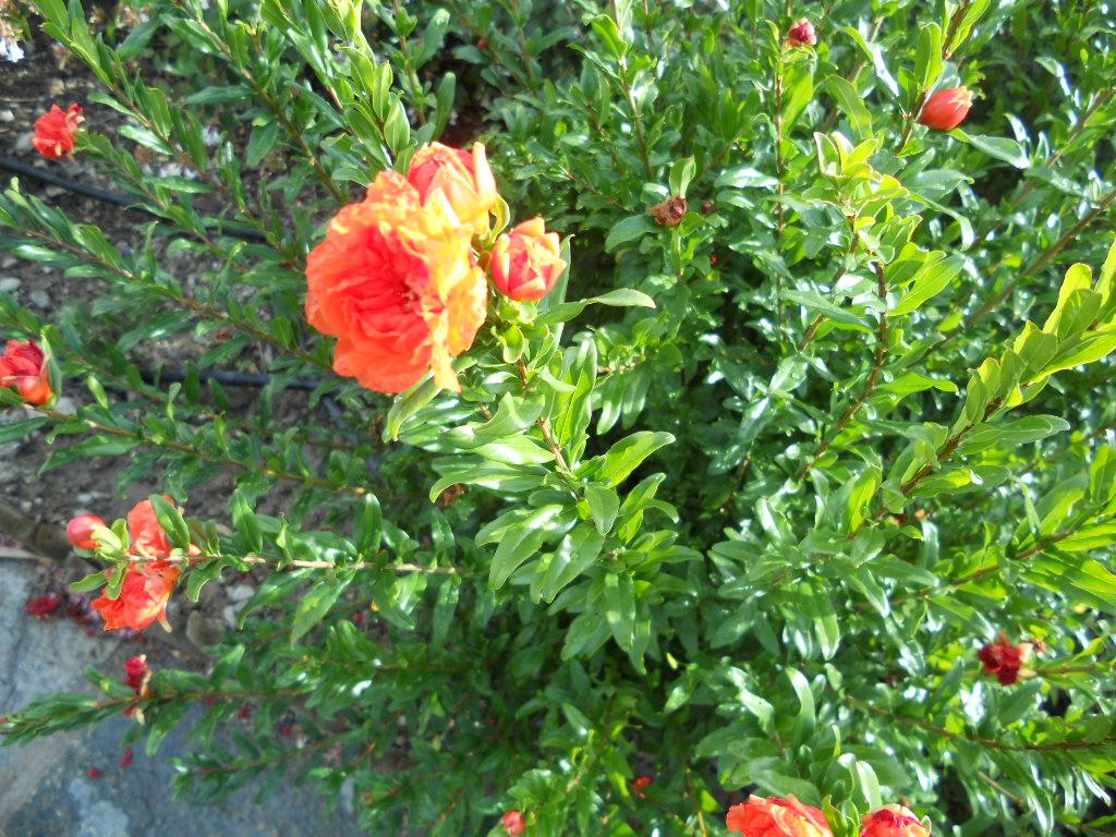 Grenadier nain à fleur