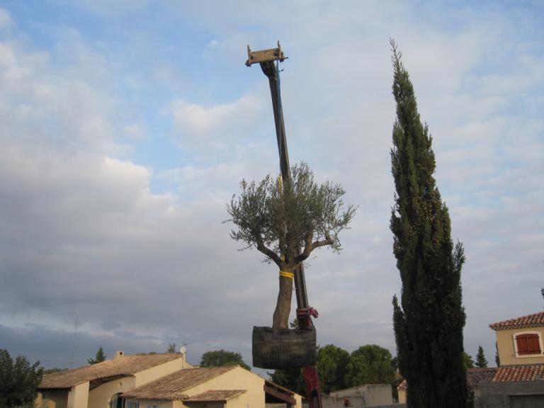 Mise en place d'un olivier